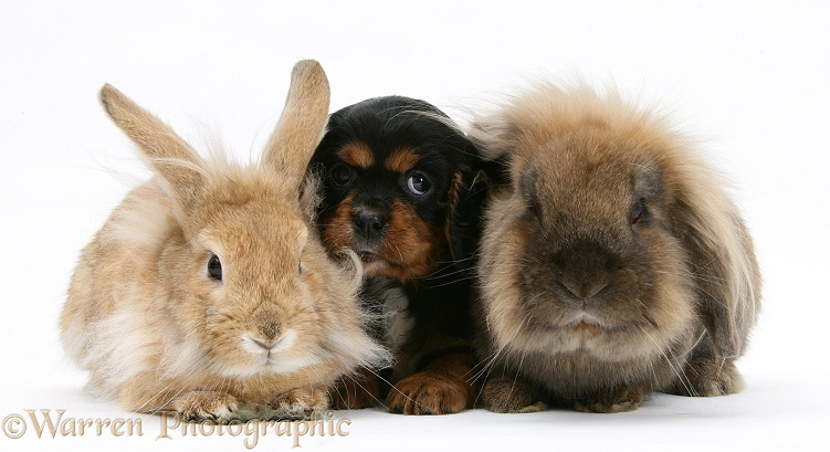 Black-and-tan Cavalier King Charles Spaniel pup and Lionhead rabbits, white background