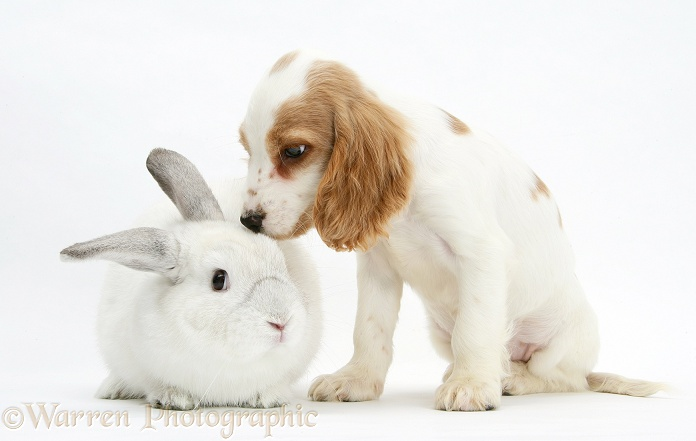 Orange roan Cocker Spaniel pup, Blossom, with white rabbit, white background
