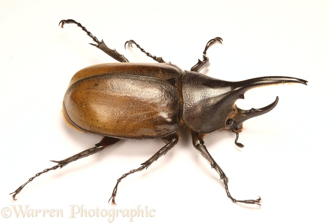 Rhinoceros Beetle (Dynastes hercules) male.  South America, white background