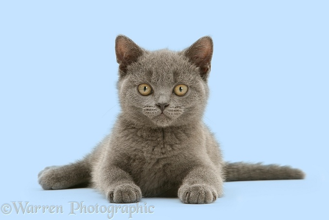 British Shorthair blue kitten, Taz, white background