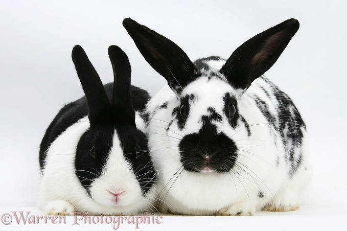 Black-and-white spotted and black Dutch rabbits, white background