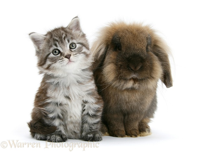 Maine Coon kitten, Goliath, with Lionhead-cross rabbit, white background