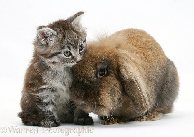 WP23751 Maine Coon kitten, Goliath , with Lionhead-cross rabbit.