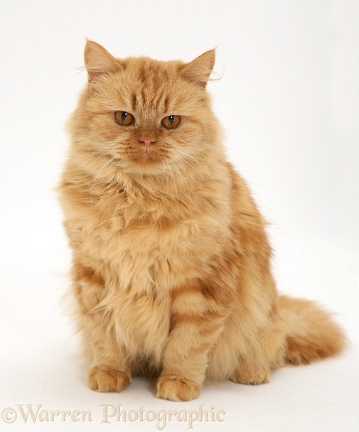 Red tabby Persian-cross female cat, Mollynew, white background