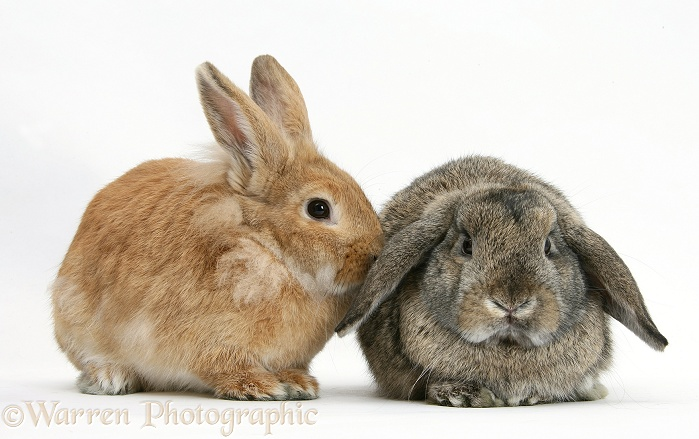 Sandy Lionhead-cross and agouti Lop rabbits, white background