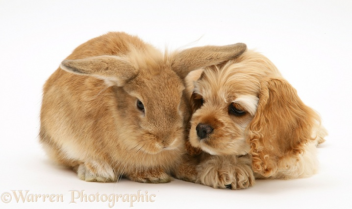 Buff American Cocker Spaniel pup, China, 10 weeks old, with Sandy Lionhead-cross rabbit, white background
