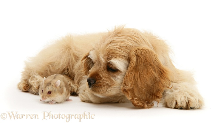 Buff American Cocker Spaniel pup, China, 10 weeks old, with a Dwarf Russian Hamster, white background