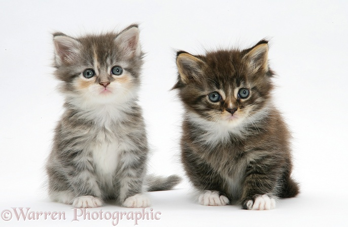 Two tabby kittens, white background