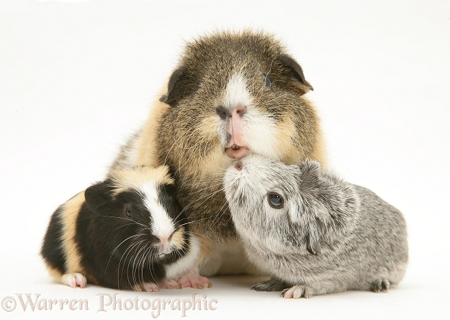 Guinea pig mother and babies, white background