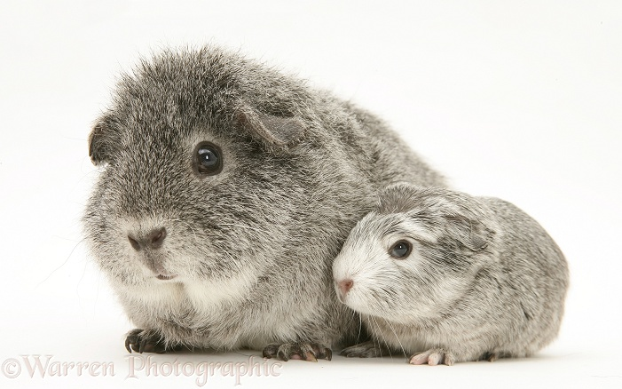 Silver Guinea pig with baby, white background