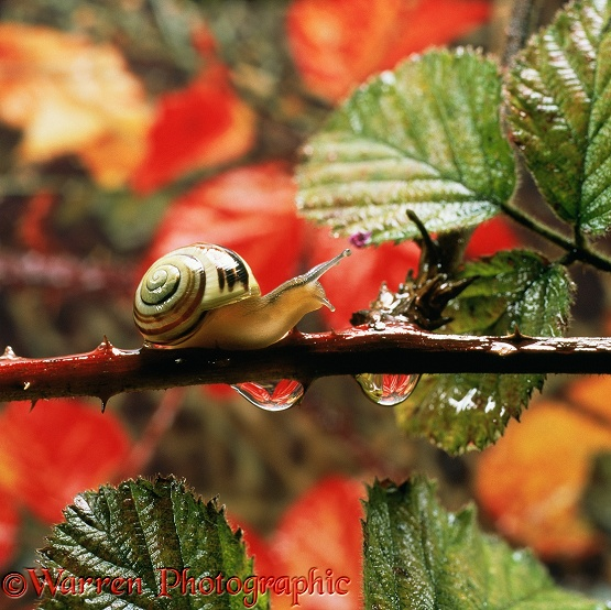 White-lipped Banded Snail (Cepaea hortensis) and raindrops on bramble stem (Rubus sp)