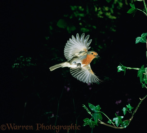 European Robin (Erithacus rubecula) bringing food to its nest. UK