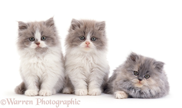 Persian-cross, Lilac bicolour and blue cream kittens, 9 weeks old, white background