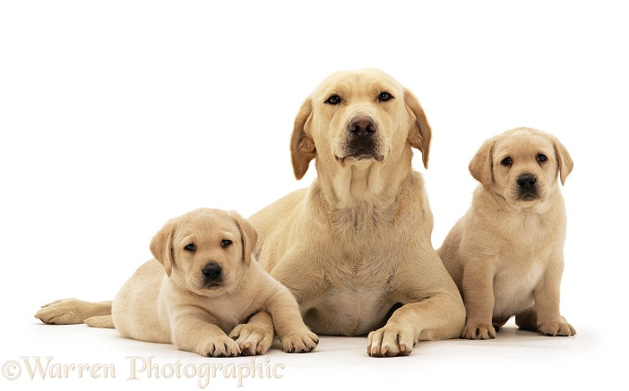 Yellow Labrador Retriever bitch with two puppies, 6 weeks old, white background