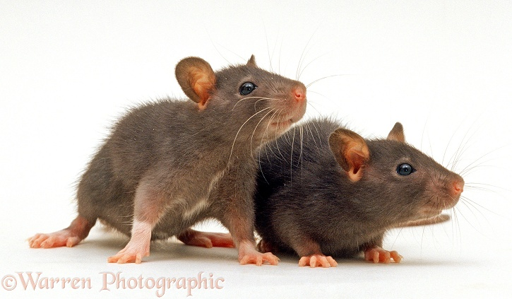 Two chocolate baby Rats, 5 weeks old, white background
