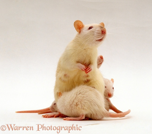 Female Himalayan Rat (Rattus sp.) with three of her 16 babies, 5-6 weeks old, white background
