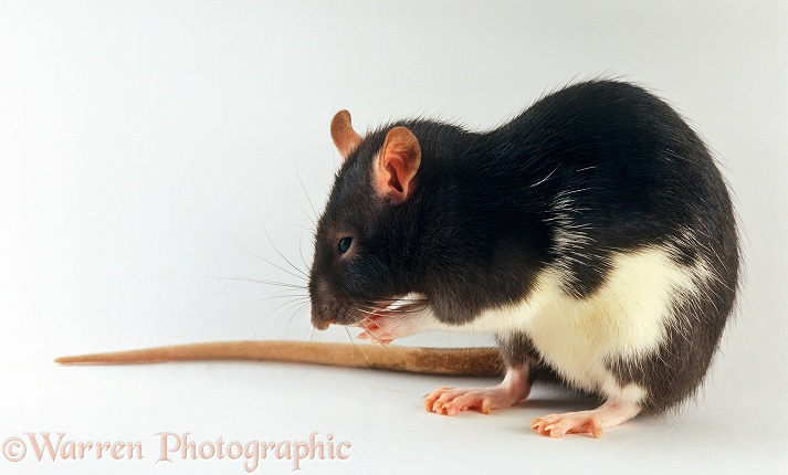 White-bellied black rat grooming her whiskers, white background