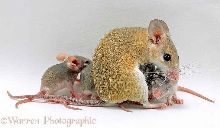 Arabian Spiny Mouse (Acomys dimidiatus) mother with her four babies, 3 days old, white background