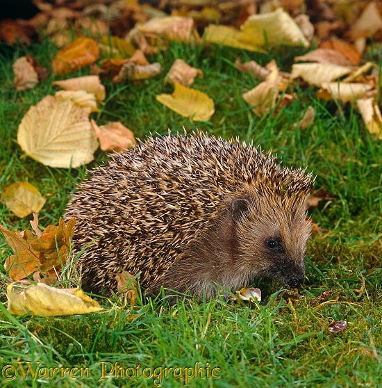 European Hedgehog (Erinaceus europaeus) eating a Garden Snail (Helix aspersa).  Europe