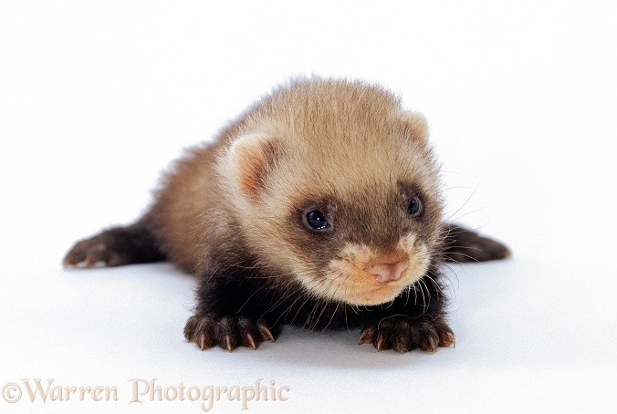 Baby domestic Polecat Ferret (Mustela putorius furo), 5 weeks old, white background