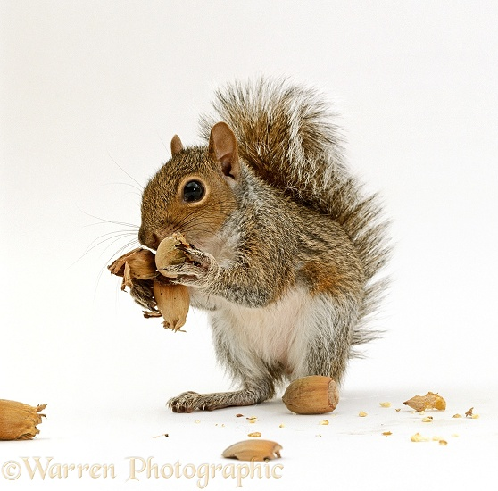 Young Grey Squirrel (Sciurus carolinensis), 8 weeks old, feeding on Hazel nuts, white background