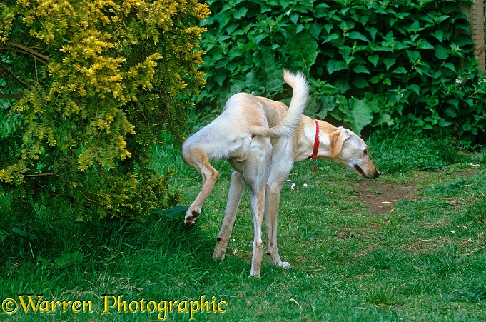 Gold Saluki Lurcher dog, Swift, cocking his leg up to urinate against a bush