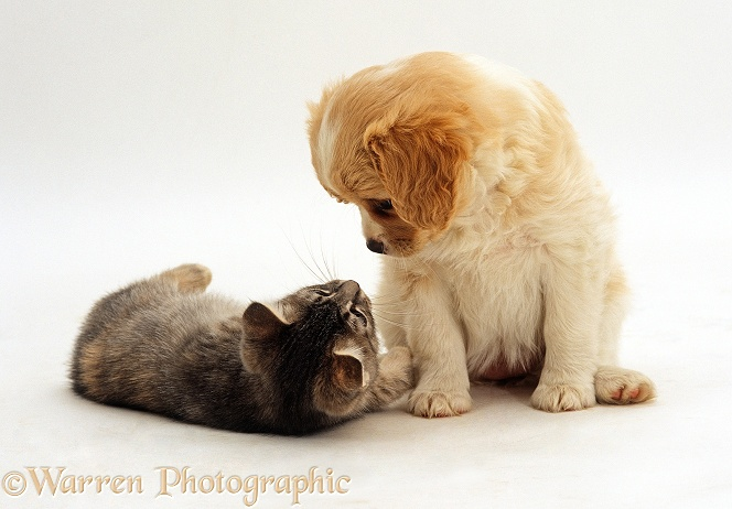 Cavalier x Spitz puppy looking down at lying blue tabby kitten, both 8 weeks old, white background