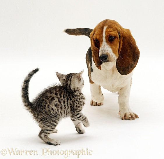 Basset puppy meeting silver tabby kitten
