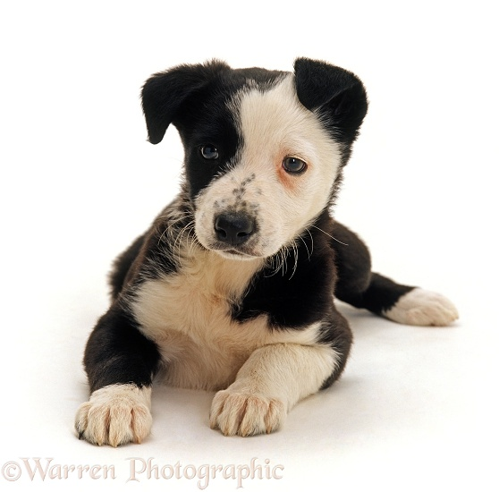 Border Collie x Staffordshire Bull Terrier pup, 8 weeks old, lying down with head up, white background