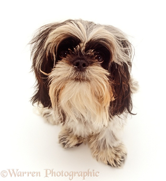 Shih-Tzu dog, 6 months old, sitting and looking up, white background