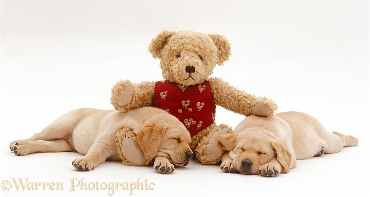 Two Yellow Labrador Retriever puppies, 8 weeks old, sleeping with teddy bear, white background