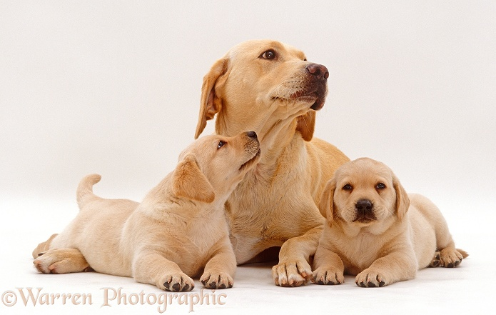 Yellow Labrador Retriever bitch lying with two puppies, 6 weeks old, white background