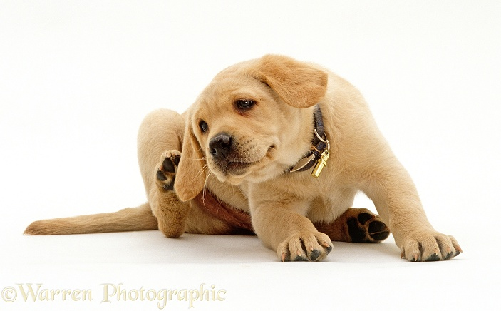 Yellow Labrador Retriever puppy, 8 weeks old, scratching his ear, white background