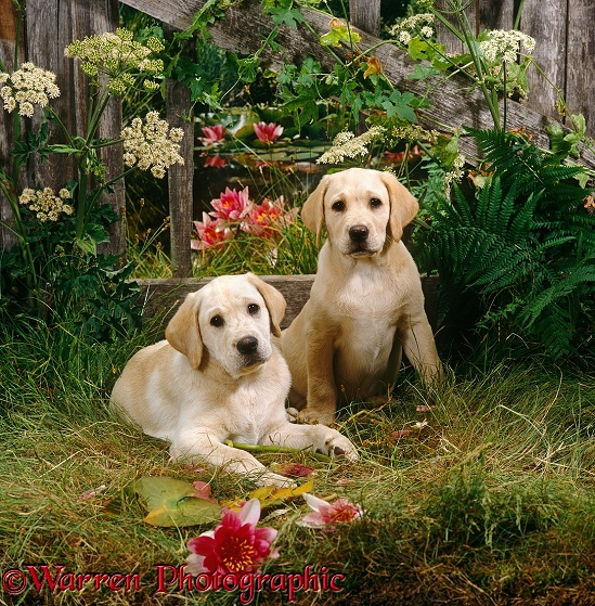 Two Yellow Labrador Retriever puppies, 10 weeks old, with fence, flowers and waterlilies