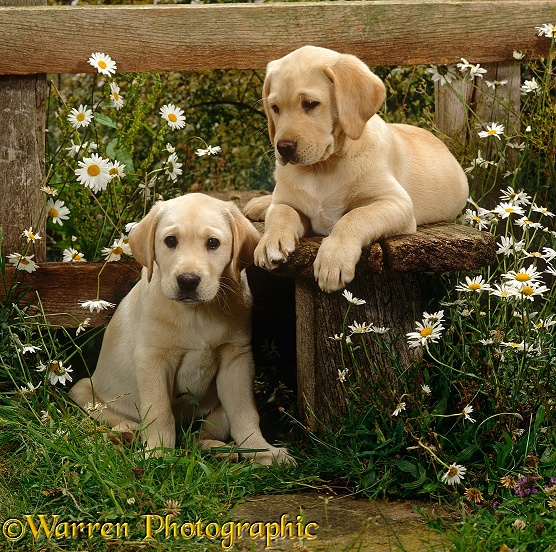 Two Yellow Labrador puppies, 9 weeks old, resting at a stile among daisies