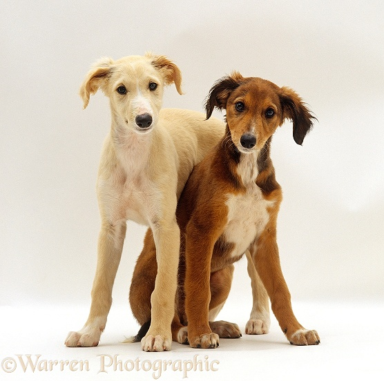 Gold Saluki puppy standing over Chocolate Saluki puppy, 12 weeks old, white background
