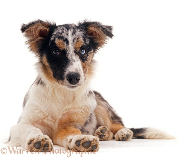 Tricolour merle Sheltie-cross puppy, 4 months old, white background