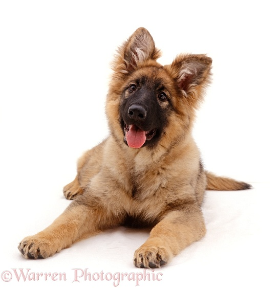 German Shepherd Dog puppy, 18 weeks old , lying down with head up, white background