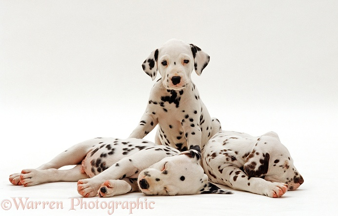 Three Dalmatian puppies, 6 weeks old, sitting and sleeping, white background