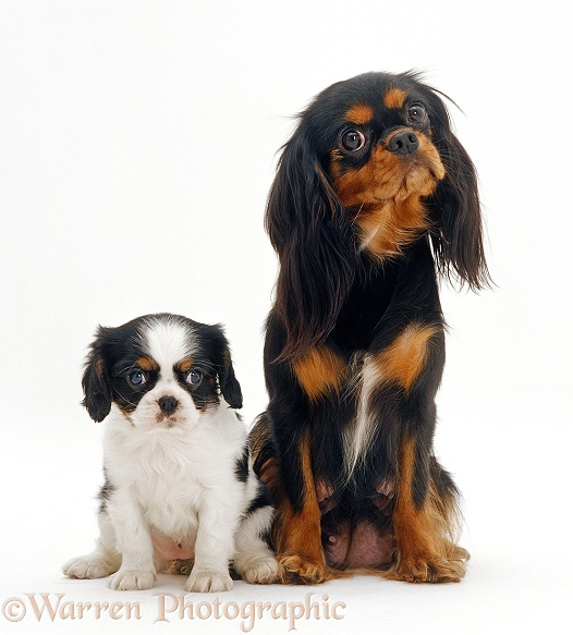 Cavalier King Charles Spaniel and pup