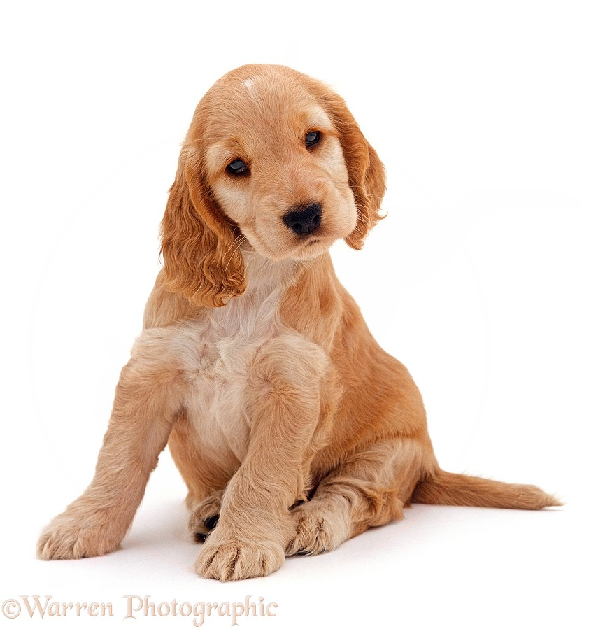 Golden Cocker Spaniel puppy, 6 week old, sitting with head tilted, white background