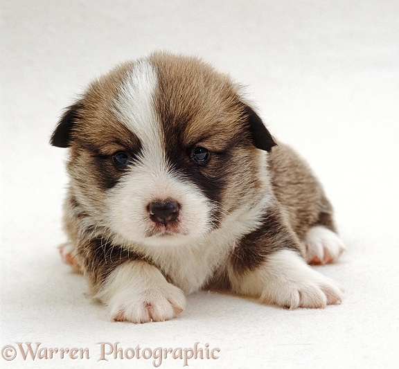 Pembrokeshire Welsh Corgi puppy, 3 weeks old, white background