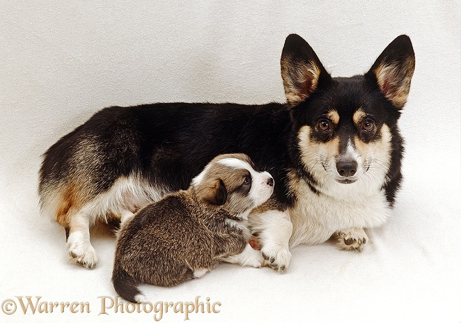 Pembrokeshire Welsh Corgi with her undocked puppy, 3 weeks old, white background