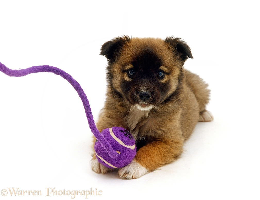 Brown Shih-Tzu cross puppy, 8 weeks old, with ball and rope, white background