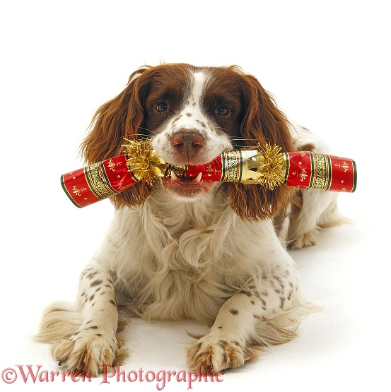 English Springer Spaniel dog, Rob, carrying a Christmas cracker, white background