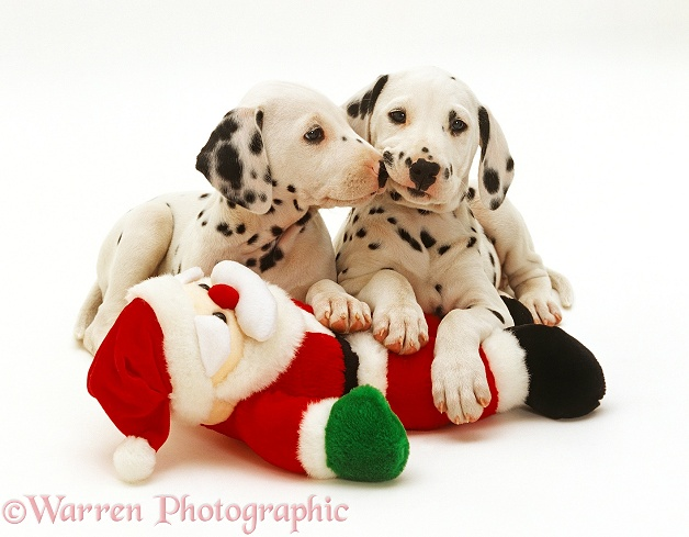Two Dalmatian puppies playing with a toy Father Christmas, white background