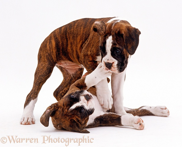 Brindle-and-white Boxer puppies, 9 week old female with 7 week old half brother, playing together, white background