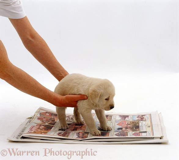 Putting a Golden Retriever puppy on newspaper, house training, white background