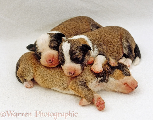 Three Border Collie puppies, 4 weeks old, huddled together and sleeping, white background