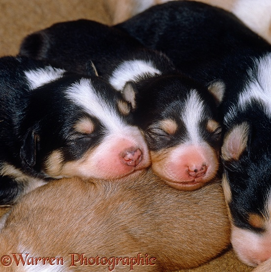 Sleeping Border Collie puppies, 9 days old, showing pigment freckles on nose